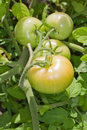 Free Green Tomatoes On The Vine Stock Photography - 15309252