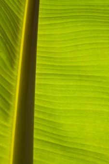 Free Banana Leaf Stock Image - 15300001