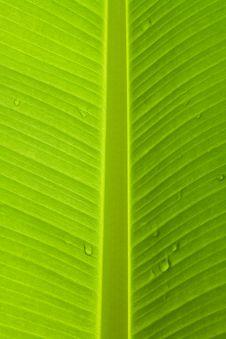 Free Banana Leaf Stock Photo - 15300010