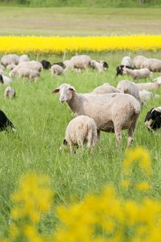 Free Sheep And Canola Royalty Free Stock Image - 15300316