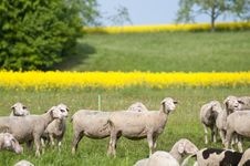 Free Sheep And Canola Stock Photography - 15300412