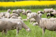 Free Sheep And Canola Royalty Free Stock Photography - 15300507