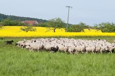 Free Sheep And Canola Stock Photography - 15300552