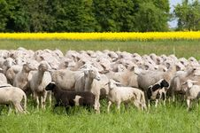 Free Sheep And Canola Royalty Free Stock Photography - 15300607