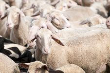 Free Sheep Royalty Free Stock Photos - 15300648