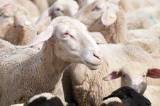 Free Sheep Royalty Free Stock Photos - 15300688