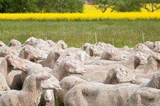 Free Sheep And Canola Stock Image - 15300771