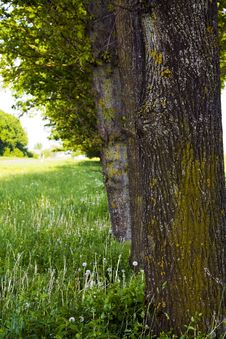 Free A Number Of Trees Royalty Free Stock Images - 15300799