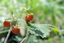 Free Wild Strawberry Close-up Royalty Free Stock Image - 15301436