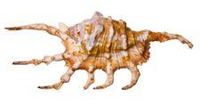 Free Sea Shell Stock Photo - 15301870