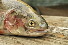 Free Trout Stock Photography - 15302372