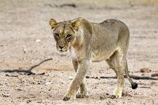 Free Kalahari Lion In The Kgalagadi Stock Photography - 15304242