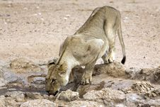 Free Kalahari Lion In The Kgalagadi Stock Photos - 15304413