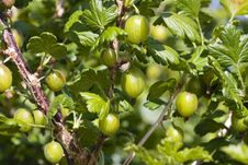 Free Ripe Gooseberries Shrub In Summer Stock Images - 15305364
