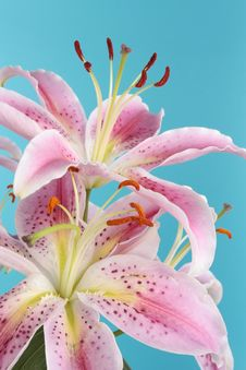 Free Pink Lily Flower Over Blue Background Royalty Free Stock Photography - 15305557