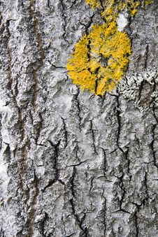 Free Tree Bark Texture Background Royalty Free Stock Photos - 15305928