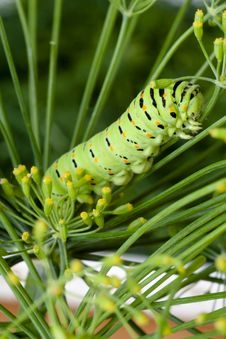 Green Caterpillar On Branch Dill Stock Images