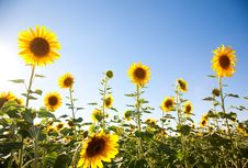 Free Sunflowers Royalty Free Stock Image - 15306046