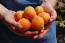 Free Apricots Stock Photos - 15307143