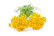 Free Tansy Royalty Free Stock Images - 15307279