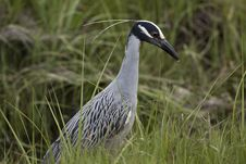 Free Yellow-crowned Night-heron Stock Photography - 15307562
