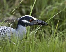 Free Yellow-crowned Night-heron Stock Images - 15307564