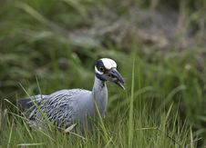 Free Yellow-crowned Night-heron Stock Image - 15307591