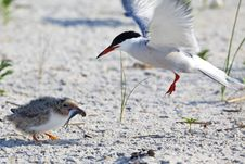 Free Common Tern (Sterna Hirundo) Stock Photography - 15307612