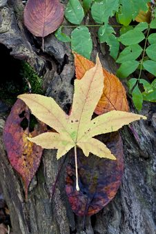 Free Autumn Leaves Royalty Free Stock Photography - 15307747