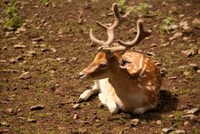 Free Fallow Deer Royalty Free Stock Image - 15308596