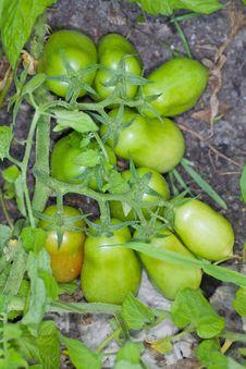 Free Plum Tomatoes On The Vine Stock Photos - 15309183