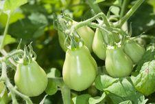 Plum Tomatoes Ripening On The Vine Stock Photo