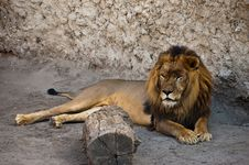 Free African Lion Stock Photos - 15309853
