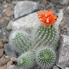 Free Blooming Cactus Stock Photos - 15309903