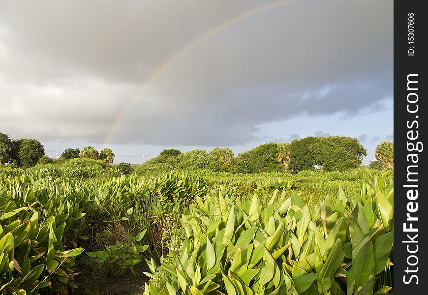 Rainbow over the everglades