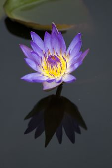 Free Purple Water Lily Stock Photography - 15311242