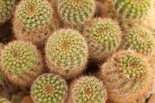 Free Golden Barrel Cactus Royalty Free Stock Photo - 15311305