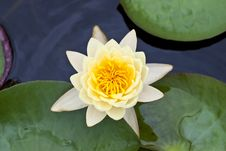 Free Yellow Water Lily Royalty Free Stock Images - 15311329
