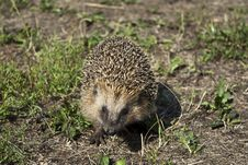 Free Hedgehog Stock Photography - 15311412