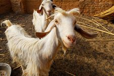 Free Sheep Royalty Free Stock Image - 15311436
