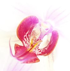 Free Orchid Royalty Free Stock Photos - 15311528