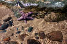 Free Purple Starfish Stock Photo - 15311600