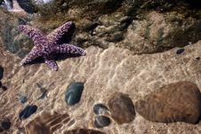 Free Purple Starfish Stock Image - 15311621