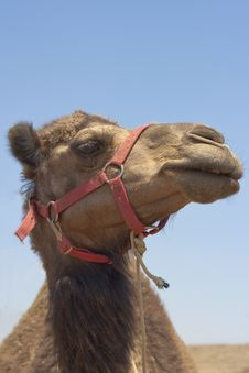 Free Camel Royalty Free Stock Photos - 15312208