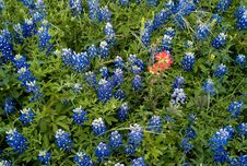 Texas Bluebonnets And Paint Brushes Royalty Free Stock Photography