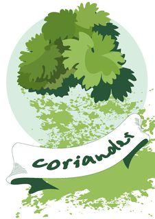 Free Coriander Royalty Free Stock Photo - 15312865