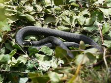 Free Grass-snake Royalty Free Stock Image - 15313976
