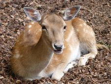 Free Fallow Deer Royalty Free Stock Photography - 15314737
