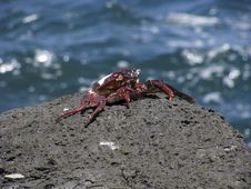 Free Rock Crab Stock Photography - 15315192