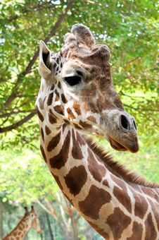 Free Portrait Of A Giraffe Royalty Free Stock Image - 15315386